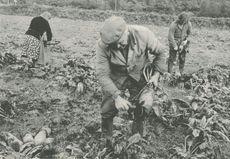 Arrachage des betteraves (1980)   Kervinio Yvon