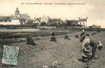 La plantation des choux |
