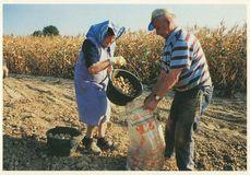 Récolte de pommes de terre   Lefeuvre Claude