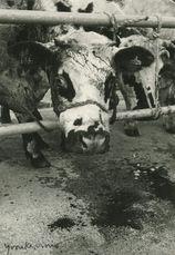 Marché aux bovins. Cette génisse a eu une corne cassée pendant le transport et perdait son sang depuis plusieurs heures. | Kervinio Yvon
