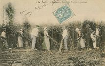 Récolte du Chanvre |