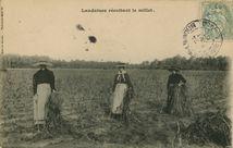 Landaises récoltant le millet |