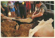 Naissance d'un veau lors du comice agricole de Brou | Rouhault A-M.