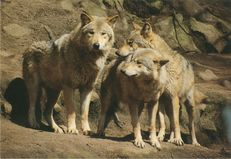 LOUPS D'EUROPE