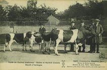 Vente de Vaches bretonnes |