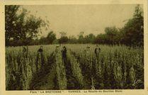 La Récolte du Bouillon Blanc